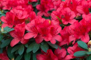 fresh rhododendron azalea flowers