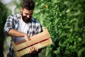 farmer picking fresh tomatoes