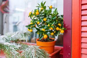 Mandarin tree and fir-tree branch on window sill