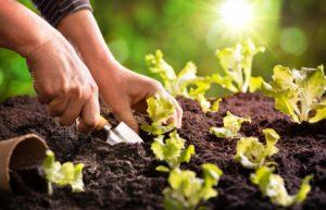Farmer planting young seedlings of lettuce salad