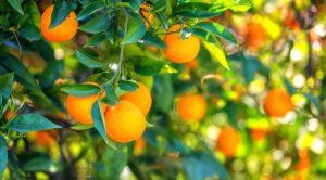 Orange garden in sunlight