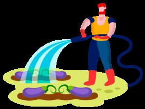 gardener watering eggplants