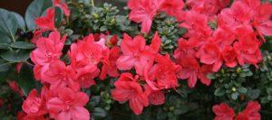 Bright, red flowers on an Azalea Bush